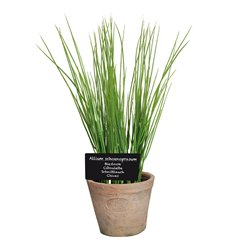 Chives in AT pot L